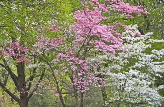 eastern-redbud-and-flowering-dogwood-nancy-hoyt-belcher
