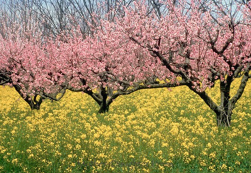 Southern peach trees in orchard of wild mustard